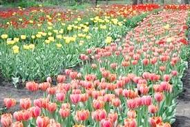 Чим підгодувати тюльпани навесні?