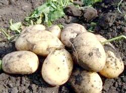Чим удобрювати картопля при посадці?