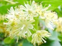 Квітки липи для схуднення