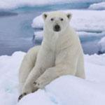 Позбутися від ожиріння допоможуть ... білі ведмеді!