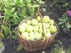 Яблучний розвантажувальний день