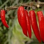 Червоний гіркий перець: лікувальні властивості