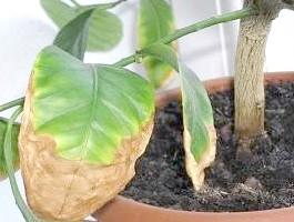 Сохнут листя у лимона