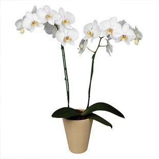 Догляд за орхідеєю фаленопсис