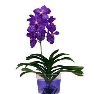 Догляд за орхідеєю Ванда