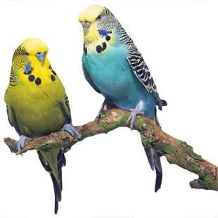Догляд за хвилястими папужками