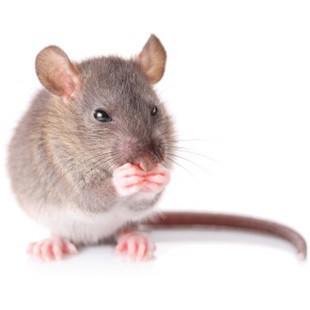 Бачити у сні миша